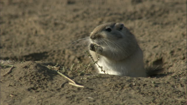 stockvideo's en b-roll-footage met great gerbil eats vegetation, kalamaili nature reserve, xinjiang, china - leger thema
