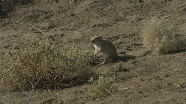 Great gerbil foraging then runs aroun with vegetation in mouth, Kalamaili Nature Reserve, Xinjiang, China