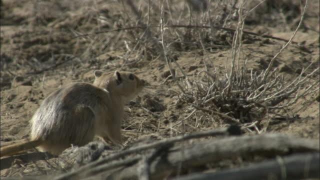 Great gerbil runs into burrow and starts digging, Kalamaili Nature Reserve, Xinjiang, China