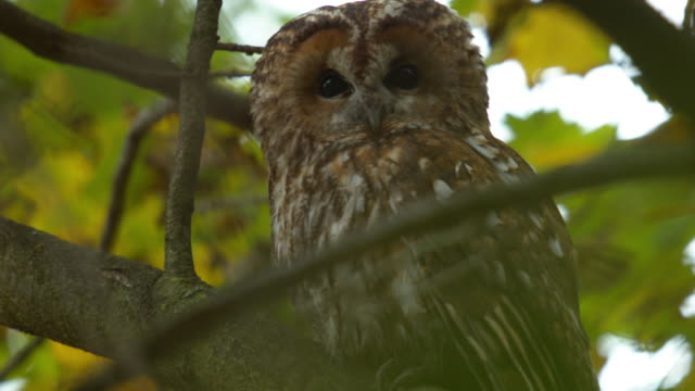 great gray owl hidden among branches - great gray owl stock videos & royalty-free footage