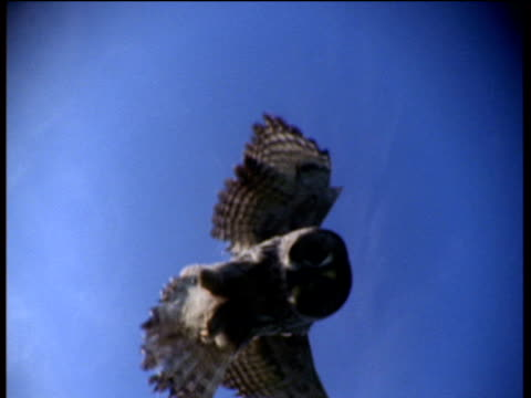 great gray owl swoops down and pounces onto camera - great gray owl stock videos & royalty-free footage