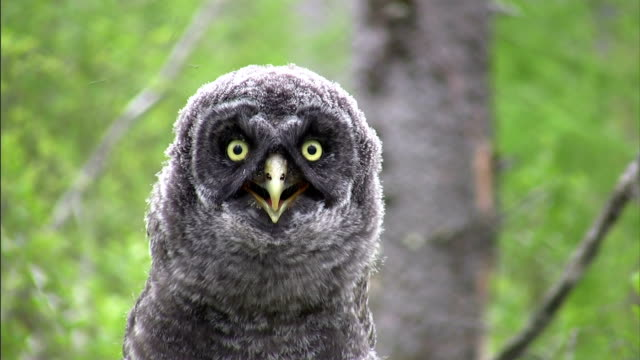 a great gray owl's throat quivers as it perches in a tree. - neck stock videos & royalty-free footage