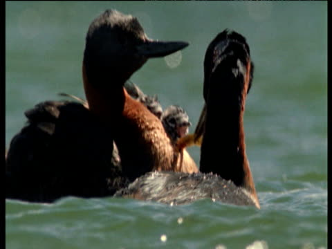 Great grebe feeds cute chick on other parent's back
