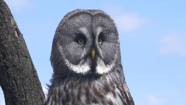 great grey owl 4k - great gray owl stock videos & royalty-free footage