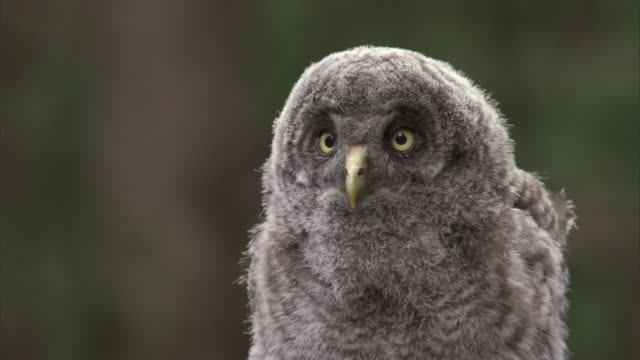 great grey owl (strix nebulosa) chick calls in forest, yellowstone, usa - great gray owl stock videos & royalty-free footage