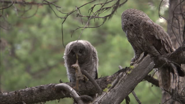 great grey owl (strix nebulosa) chick drops chipmunk prey in forest, yellowstone, usa - great gray owl stock videos & royalty-free footage