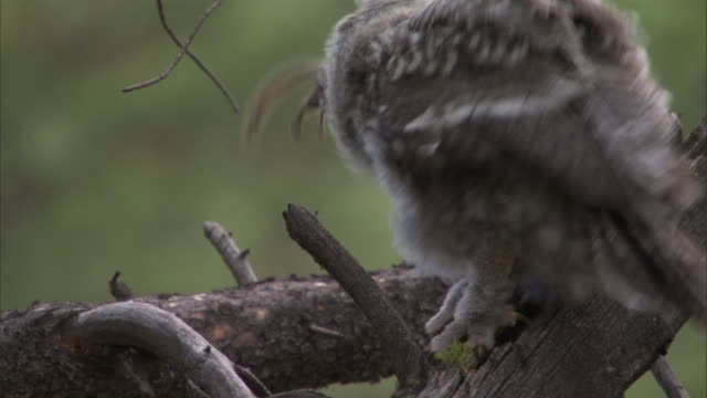 great grey owl (strix nebulosa) chick eats chipmunk prey in forest, yellowstone, usa - tamia striato video stock e b–roll
