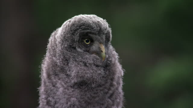 great grey owl (strix nebulosa) chick in forest, yellowstone, usa - great gray owl stock videos & royalty-free footage