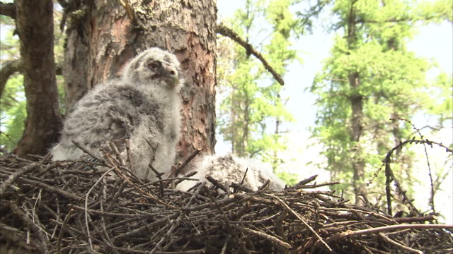 great grey owl (strix nebulosa) chick in nest, riding mountain, manitoba, canada - great gray owl stock videos & royalty-free footage