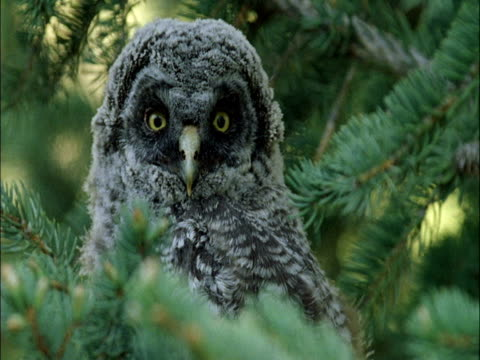great grey owl (strix nebulosa) chick in tree, montana, usa - great gray owl stock videos & royalty-free footage