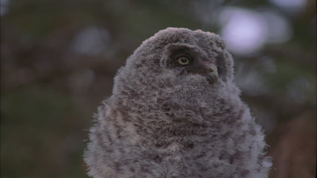 great grey owl chick peers around, montana, usa - great gray owl stock videos & royalty-free footage