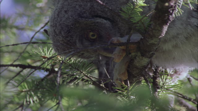 great grey owl chick perched in tree, montana, usa - claw stock videos & royalty-free footage