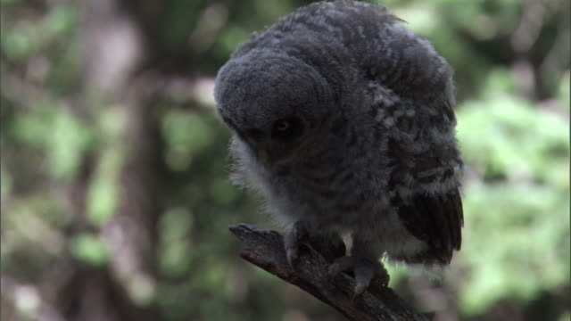 great grey owl (strix nebulosa) chick preens in forest, yellowstone, usa - great gray owl stock videos & royalty-free footage