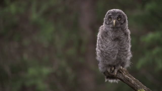 great grey owl (strix nebulosa) chick stares in forest, yellowstone, usa - great gray owl stock videos & royalty-free footage