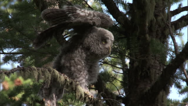 great grey owl (strix nebulosa) chick stretches in forest, yellowstone, usa - great gray owl stock videos & royalty-free footage