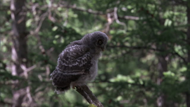great grey owl (strix nebulosa) chick stretches wings in forest, yellowstone, usa - great gray owl stock videos & royalty-free footage