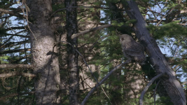 great grey owl chick takes off from tree, montana, usa - great gray owl stock videos & royalty-free footage