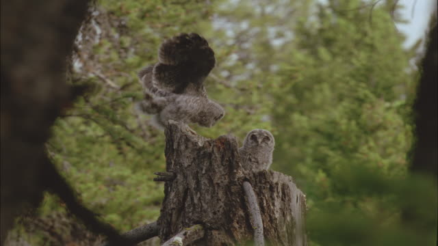 great grey owl chicks at nest, montana, usa - great gray owl stock videos & royalty-free footage