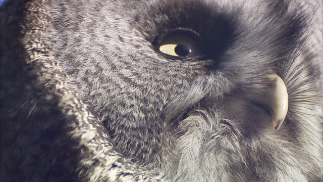 great grey owl (strix nebulosa) close ups, riding mountain, manitoba, canada - great gray owl stock videos & royalty-free footage