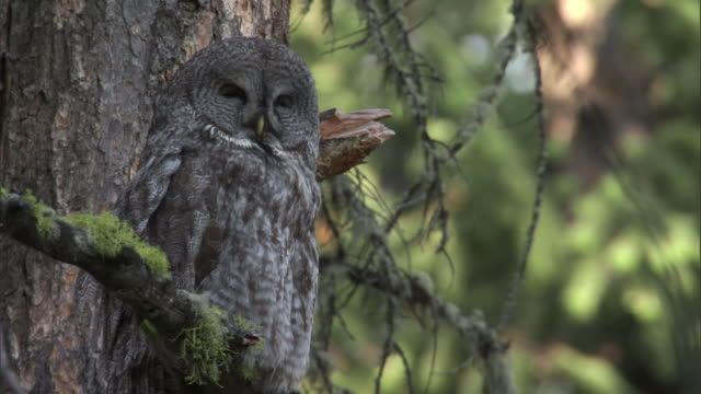 great grey owl (strix nebulosa) dozes in forest, yellowstone, usa - great gray owl stock videos & royalty-free footage