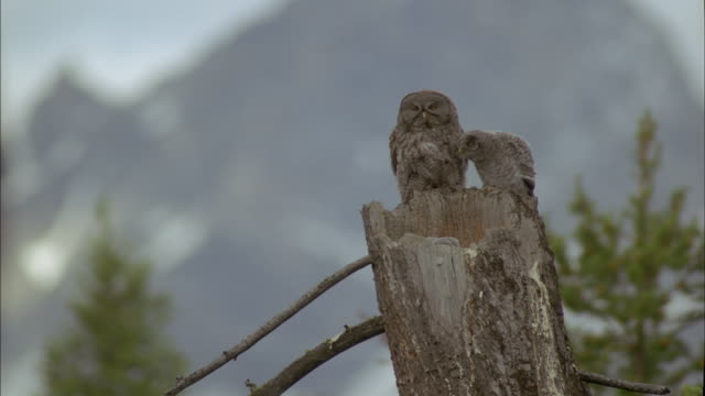 great grey owl family at nest, montana, usa - great gray owl stock videos & royalty-free footage