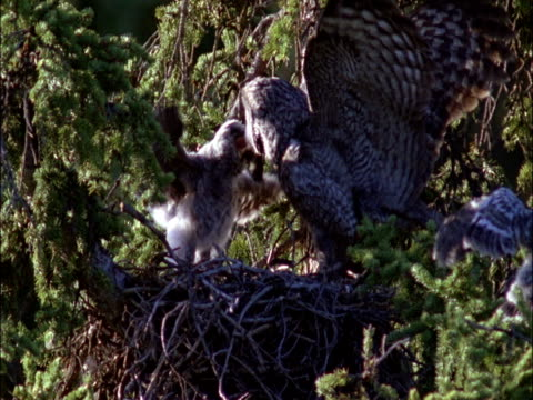 great grey owl (strix nebulosa) feeds chick in nest, montana, usa - great gray owl stock videos & royalty-free footage