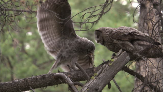 Great grey owl (Strix nebulosa) feeds chipmunk to chick in forest, Yellowstone, USA