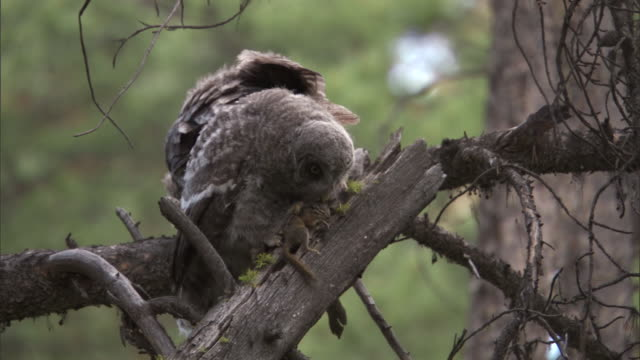 great grey owl (strix nebulosa) feeds chipmunk to chick in forest, yellowstone, usa - great gray owl stock videos & royalty-free footage