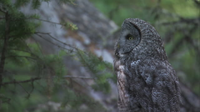 great grey owl (strix nebulosa) in forest, yellowstone, usa - great gray owl stock videos & royalty-free footage