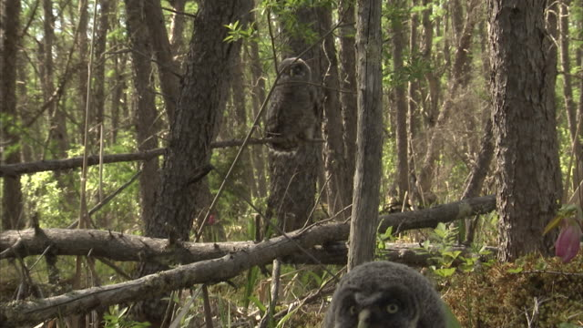 great grey owl (strix nebulosa) juvenile, riding mountain, manitoba, canada - great gray owl stock videos & royalty-free footage