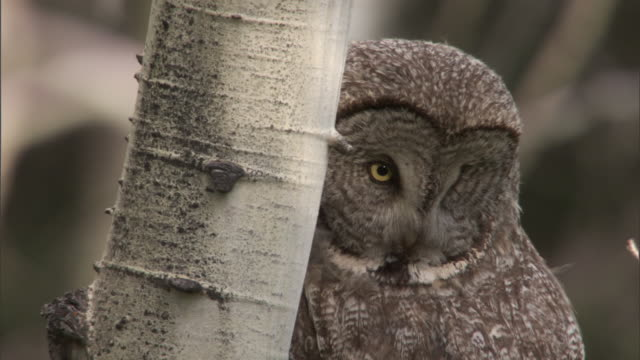 great grey owl (strix nebulosa) looks around in forest, yellowstone, usa - great gray owl stock videos & royalty-free footage
