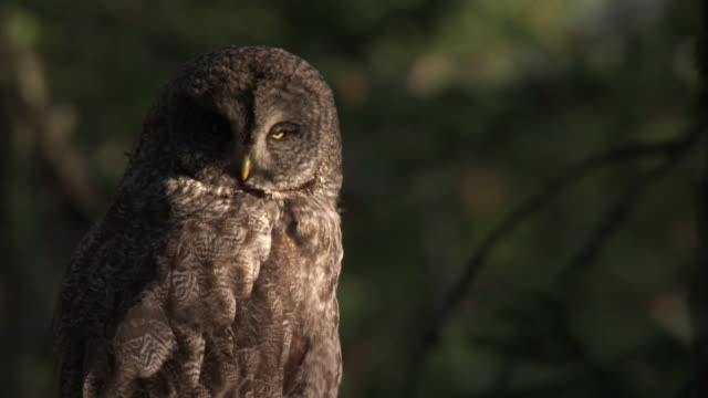 great grey owl (strix nebulosa) peers around in forest, yellowstone, usa - chiaroscuro stock videos and b-roll footage