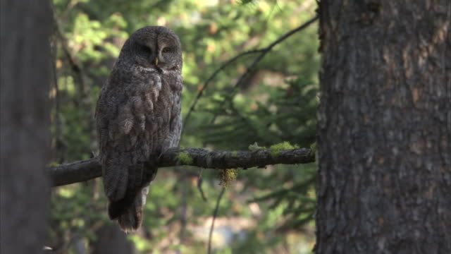 great grey owl (strix nebulosa) peers around in forest, yellowstone, usa - great gray owl stock videos & royalty-free footage