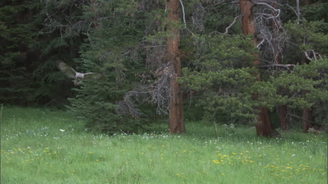 great grey owl (strix nebulosa) pounces onto prey at forest edge, yellowstone, usa - great gray owl stock videos & royalty-free footage