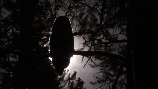 great grey owl (strix nebulosa) silhouetted by moon in forest at night, yellowstone, usa - owl stock videos & royalty-free footage
