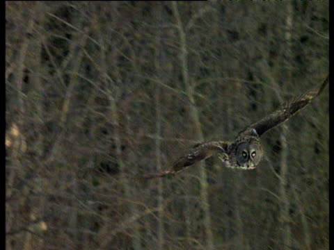 Great grey owl swoops and catches lemming in snow then flies off into distance, Arctic