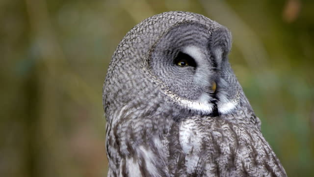 great grey owl - great gray owl stock videos & royalty-free footage