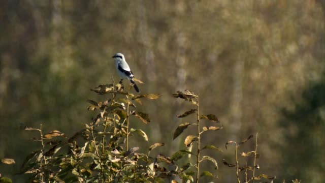 great grey shrike (lanius excubitor) - songbird stock videos & royalty-free footage