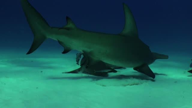 Great hammerhead shark and two nurse sharks swimming along a sandy bottom, Bimini, Bahamas.