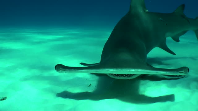 Great hammerhead shark circles in front of the camera and bait box, Bimini, Bahamas.