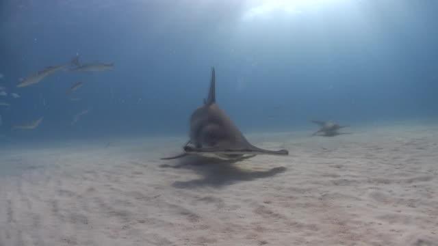 great hammerhead shark in the caribbean sea near bimini in the bahamas - bimini stock videos and b-roll footage