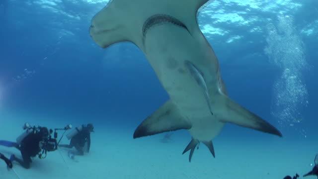 great hammerhead shark in the caribbean sea near bimini in the bahamas - shallow stock videos & royalty-free footage