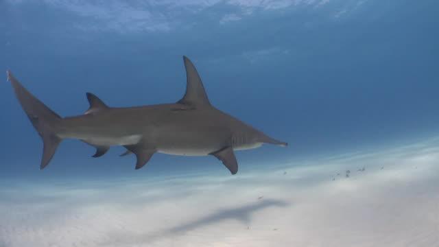 great hammerhead shark in the caribbean sea - bimini stock videos and b-roll footage