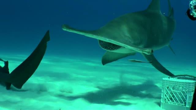 Great hammerhead shark is hand fed by diver, Bimini, Bahamas.