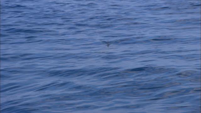 great hammerhead shark, sphyrna mokarran, fin, bahamas  - animal fin stock videos & royalty-free footage