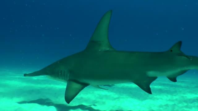 Great hammerhead shark swimming away from the camera, Bimini, Bahamas.
