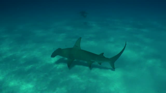 vídeos de stock, filmes e b-roll de great hammerhead shark swims across the sandy bottom, bimini, bahamas. - rêmora