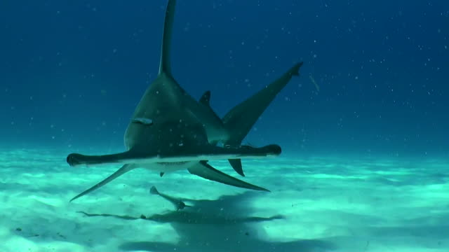 great hammerhead shark swims along the sandy bottom to the camera, bimini, bahamas. - remora fish stock videos & royalty-free footage