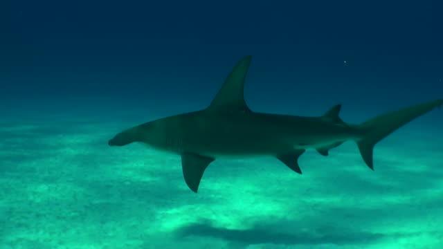 Great hammerhead shark swims slowly across in front of the camera, Bimini, Bahamas.
