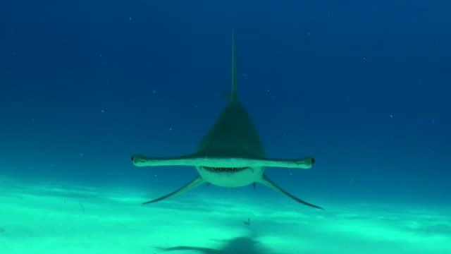 Great hammerhead shark swims straight at the camera, Bimini, Bahamas.